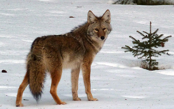 coyote-canis-latrans-fausse-fourrure-authentique-03