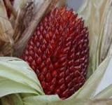 graine-Maïs-Fraise-Pop-Corn