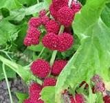 graine-epinard-fraise