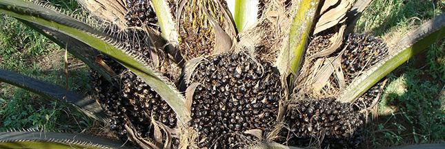 huile-de-palme-arbre-palmier-00-ban