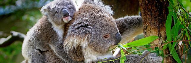 Espèces menacées : les koalas pourraient bientôt s'éteindre