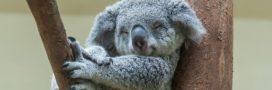 Espèces menacées: le koala pourrait bientôt s'éteindre