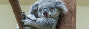 Espèces menacées : le koala pourrait bientôt s'éteindre
