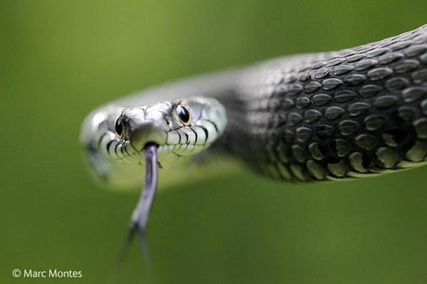 snake-marc