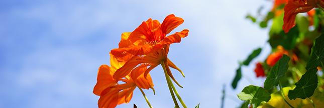 Le saviez-vous ? on peut manger plus de 250 fleurs