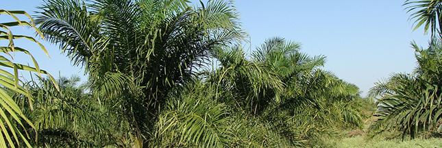 Huile de palme dans mes cosmétiques : comment empêcher la déforestation ?