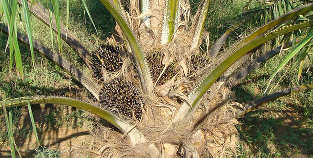 huile-de-palme-palmier-cosmetique-02