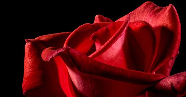 petales-de-rose-alimentation-cuisine-fleur-01