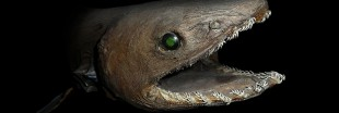 Vidéo : un requin fossile vivant qui manque de mordant