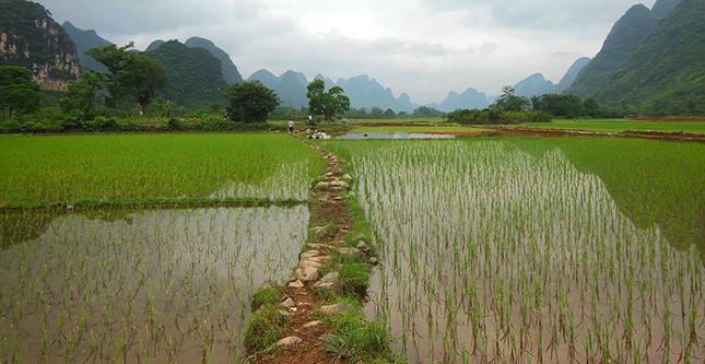 yunnan-chine-champ-agriculture-nourriture-bio-faux-riziere-02