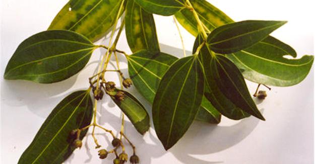 Cinnamomum_verum-cannelier-cannelle-de-ceylan