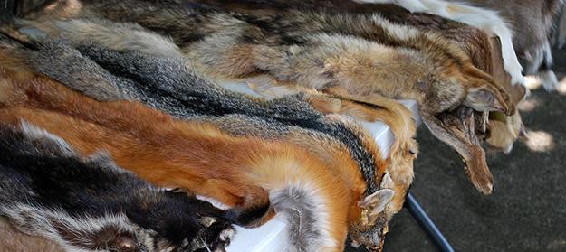 fourrure-animaux-cadavres