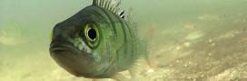 La perche franche, poisson à déguster avec parcimonie