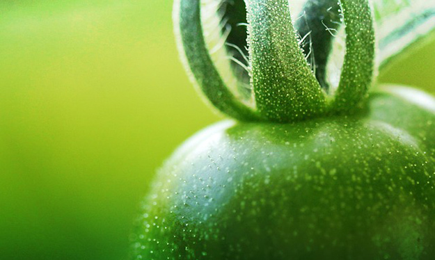 tomate-verte-fruit