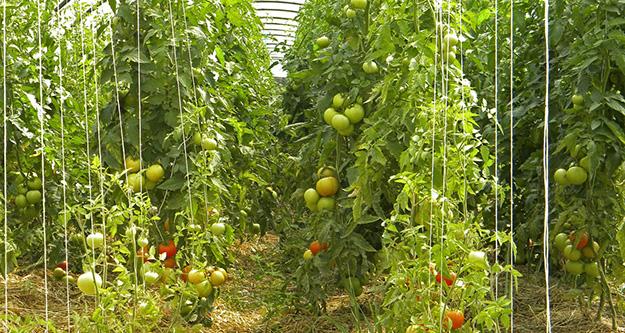 amap-panier-legumes-plants-tomates-02