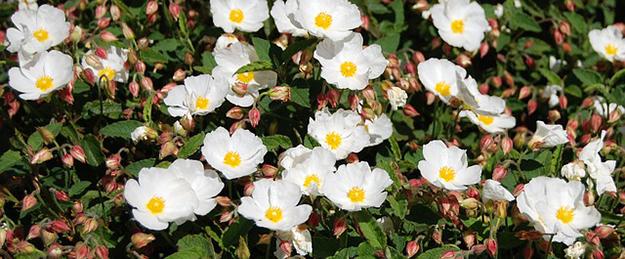 fleur-rose-planter-hellebore-02