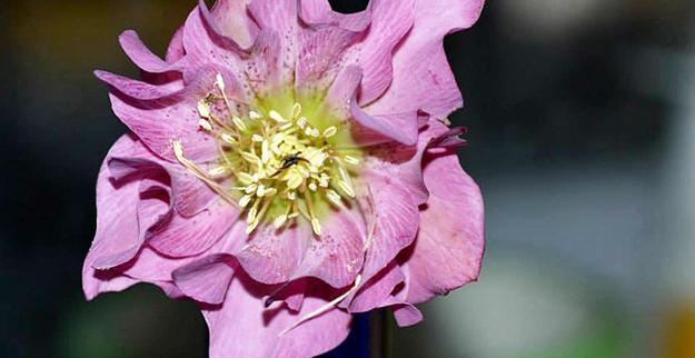 fleur-rose-planter-hellebore-03
