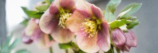Printemps ou automne : plantez les hellébores ou roses de Noël