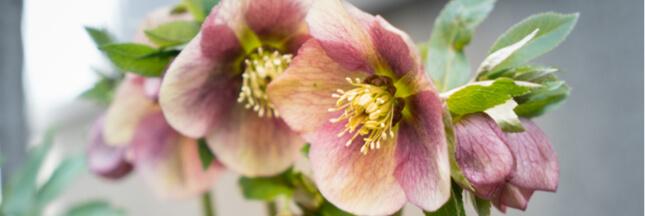 Printemps ou automne: plantez les hellébores ou roses de Noël