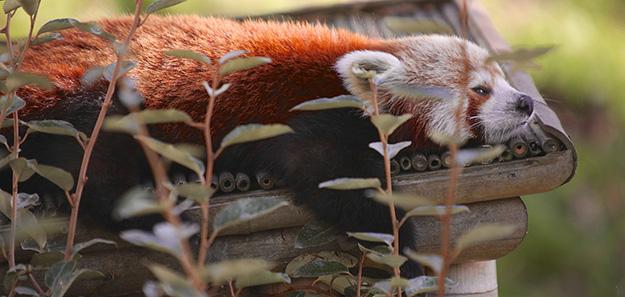 panda-roux-animal