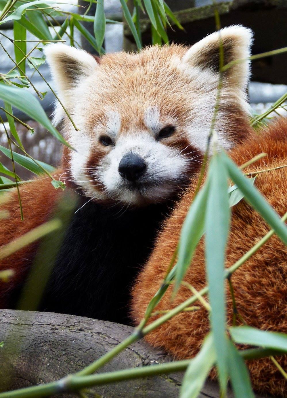 Panda roux © Zoo de Lille