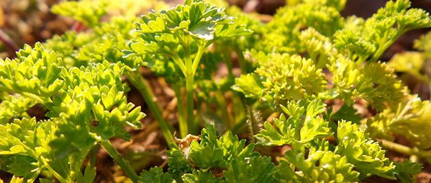 persil-herbe-aromatique-aromate-cuisine-recette-04