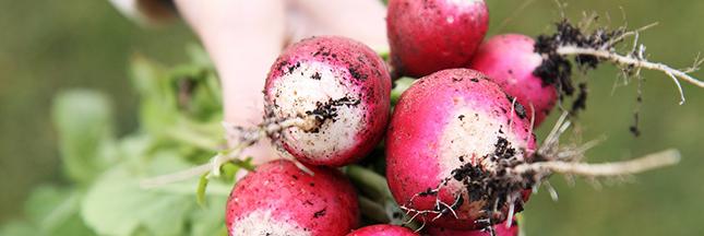 Vous n'avez plus un radis ? semez-les au jardin bio !