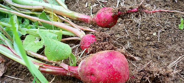 radis-roses-jardin-bio-terre-legumes-01