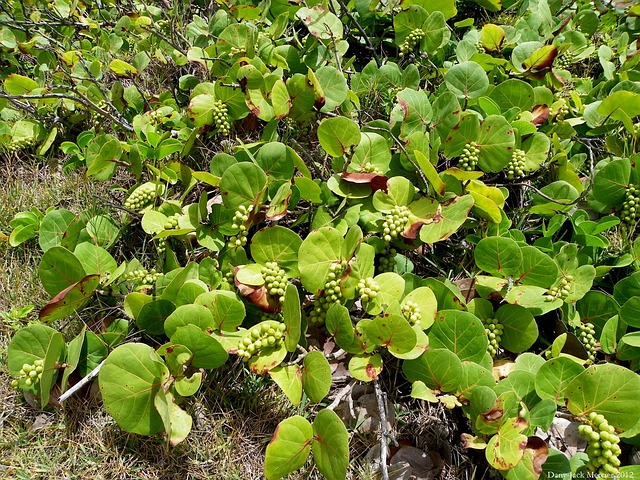 sarrasin-plantes-grappes