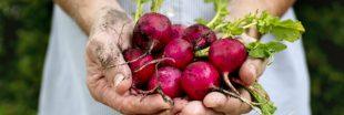 Vous n'avez plus un radis ? semez-les au potager