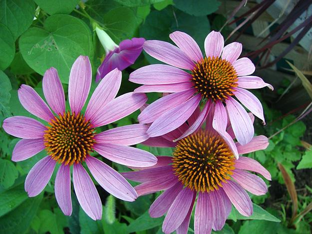 échinacée-fleurs-floraison-lutter-aphtes
