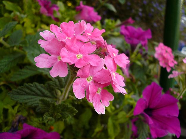 tisane pour dormir, plante pour dormir, somnifère naturel, Verveine-fleur-plante-trouver-sommeil-dormir