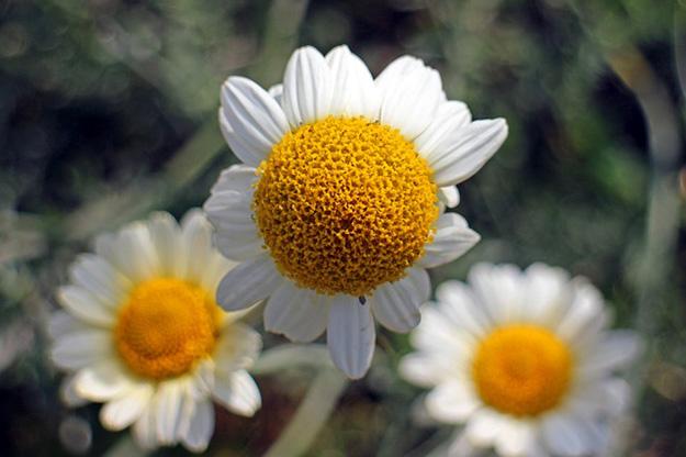 camomille-fleur-champs-pétales-bouton-tige