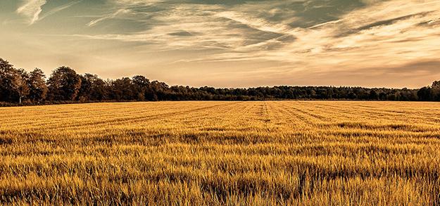champ-de-ble-agriculture-intensive-ecologie réchauffement climatique conséquences