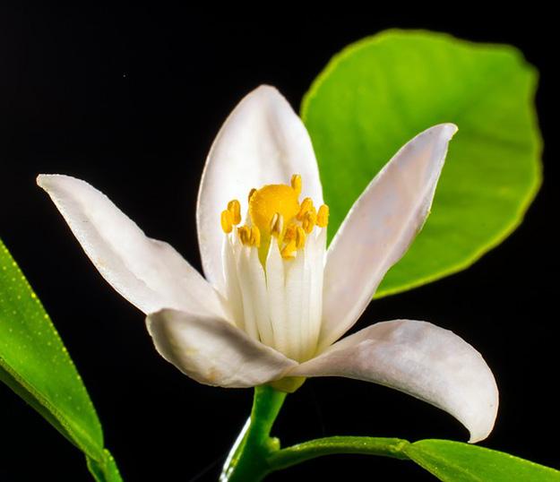 tisane pour dormir, plante pour dormir, somnifère naturel, fleur-oranger-plante-dormir-trouver-sommeil