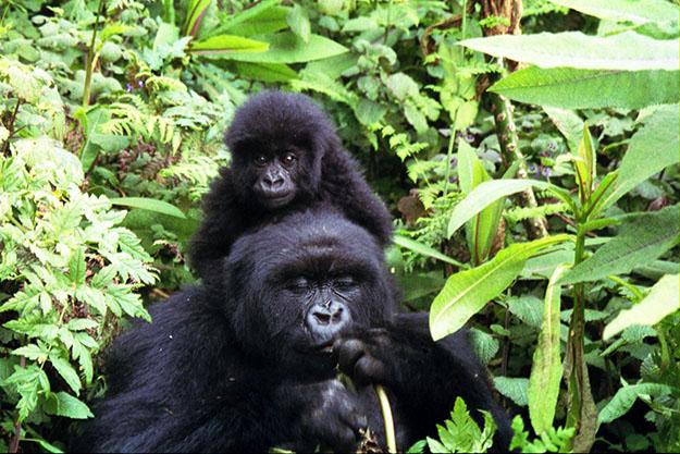 gorille-animal-menacé-biodiversité-en-danger