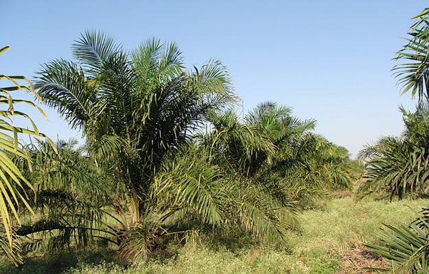 huile-palme-nutella-orang-outan-plante-biodiversité-cosmétique-arbre