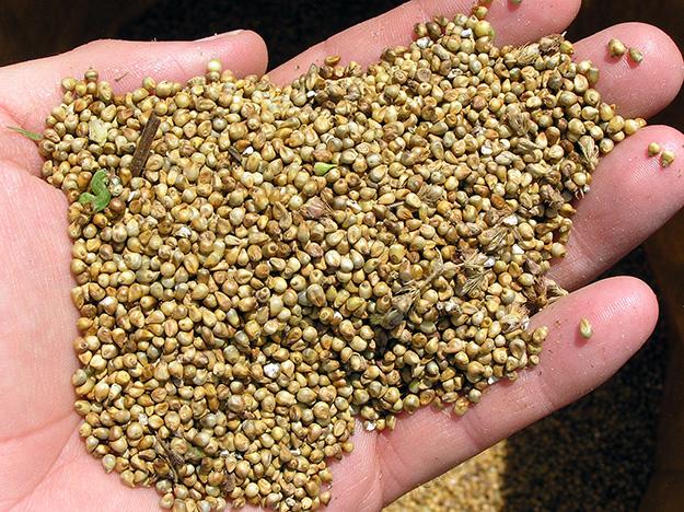 millet-céréale-bienfaits-nutritifs-sans-gluten (2)