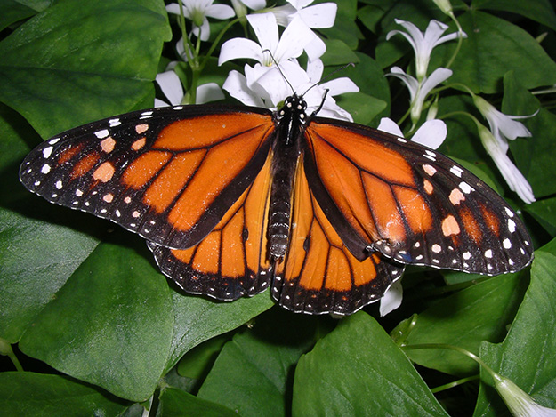 papillon-monarque-animal-menacé-biodiversité-en-danger