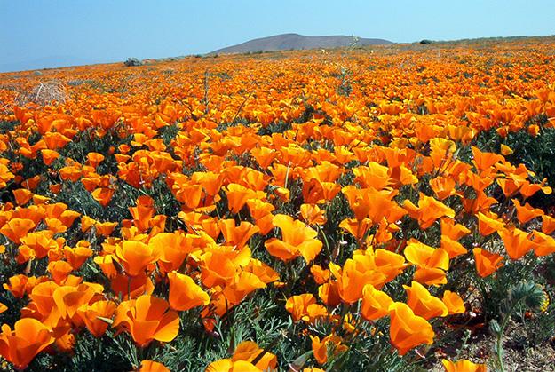 tisane pour dormir, plante pour dormir, somnifère naturel, pavot-Californie-floraison-plante-trouver-sommeil-dormir