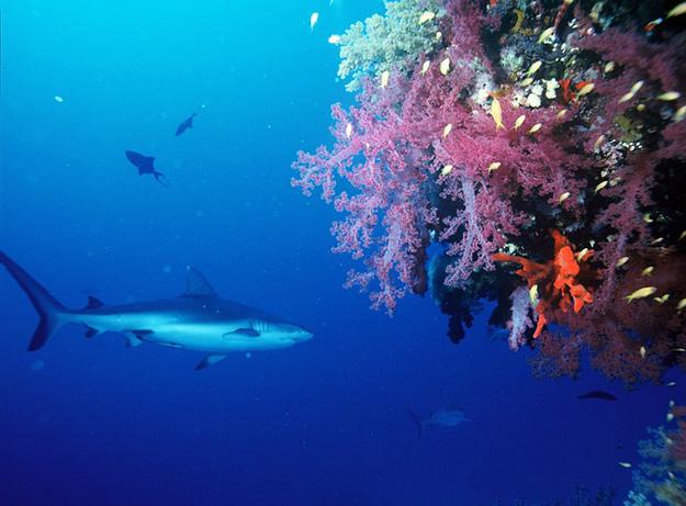 récif-requin-corail-mer-océan-biodiversité-menace-extinction-danger