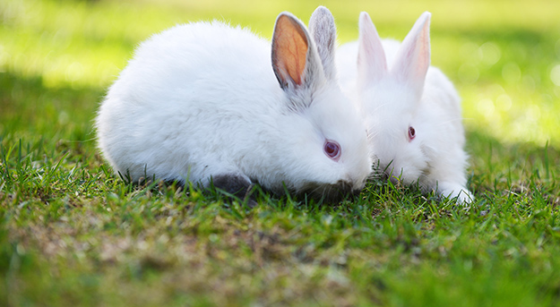 © Shutterstock - two funny white rabbits in grass - http://www.shutterstock.com/fr/pic-277383638/stock-photo-two-funny-white-rabbits-in-grass.html?src=RnEFyOUDFetVQIlcBr0B4w-1-1