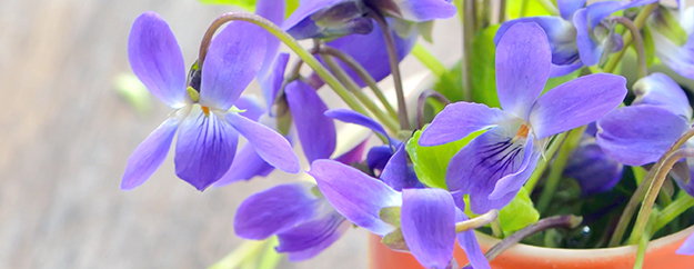 violettes dans un pot - © Shutterstock http://www.shutterstock.com/fr/pic-183360965/stock-photo-violets-flowers-viola-odorata-on-wood-background.html