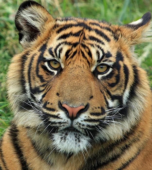tigre-animal-menacé-biodiversité-en-danger