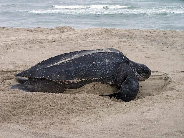 tortue-luth-animal-menacé-biodiversité-en-danger