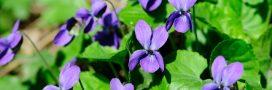 Bienfaits et plaisir des violettes: pressez-vous!