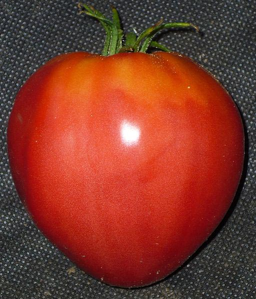 La véritable tomate coeur de boeuf: la base est plus fine que le sommet