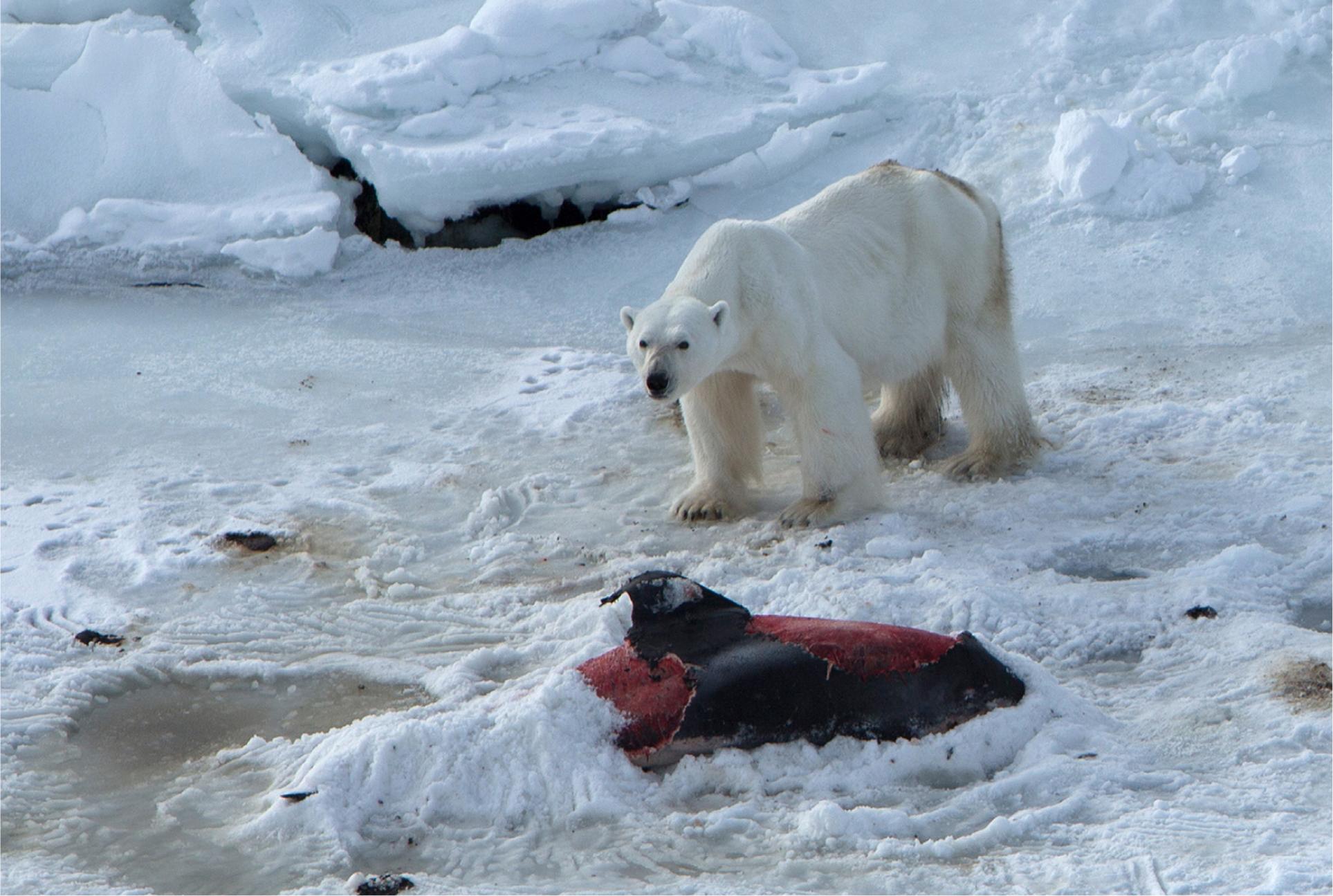 Ours polaire pris en photo par Jon Aars, de l'Institut Polaire Norvégien