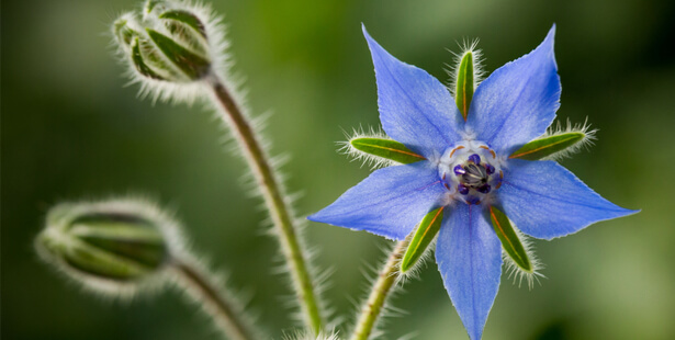 bourrache-fleur-plante-anti-inflammatoire-huiles-essentielles-