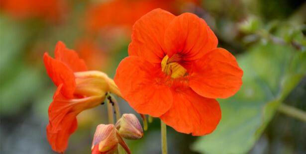 capucines-fleur-plante-anti-inflammatoire-huiles-essentielles- soins naturels